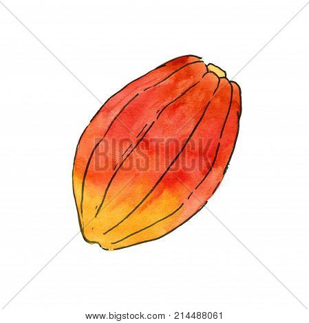 Cocoa fruit watercolor illustration hand drawn cacao pod isolated on the white background