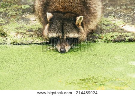 Raccoon drinking from a pond coverd by green duckweed.