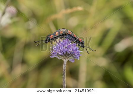Six-spot Burnet Moth On A Purple Flower In Scotland In The Summer Time