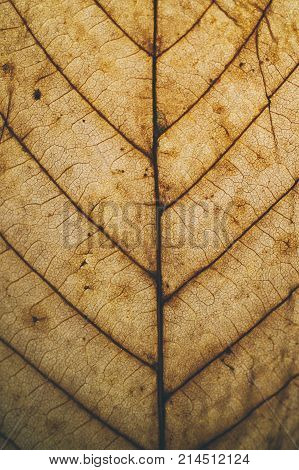 Brown leaf texture and background. Macro view of dry leaf texture. Organic and natural pattern. Abstract texture and background for designers. Dry leaves background. Close up of brown leaf texture.