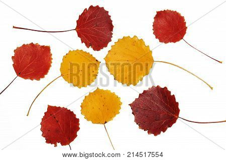Red and yellow asp leaves on white background