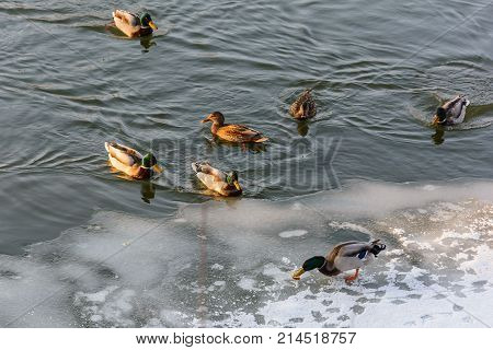 Ducks on the River in Winter Nature Winter Forest Grove Cold Frozen River