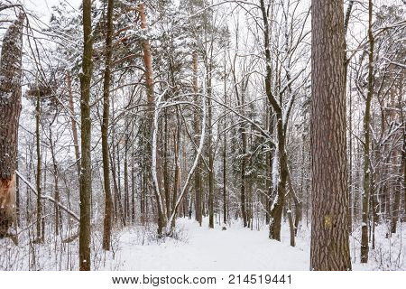 Winter Path in the Forest Trees Snow Day Landscape Cold Walk in the Forest