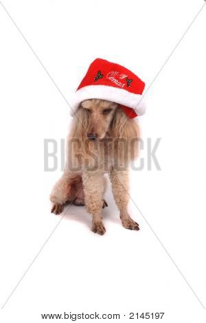 poodle and the xmas on the white background poster