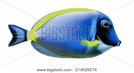 Powder Blue Surgeonfish 3d illustration - The Powder Blue Surgeonfish is a saltwater species reef fish in tropical regions of the Indian Ocean.