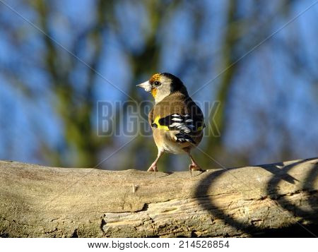 Goldfinch perched on a tree branch in late autumn