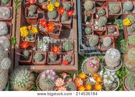 variety flowering cactus in pots, variety of cactus in a beautiful sunny day, background