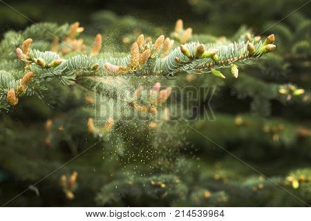Young buds and young cones grow out of a twig of coniferous tree. Flower pollen circulates buds from conifers. Young buds grow from a twig of coniferous tree.