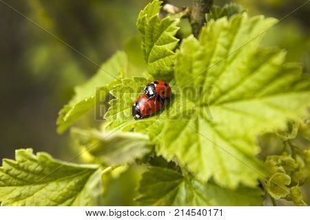 Copulating beetles ladybug on a spring leaf.