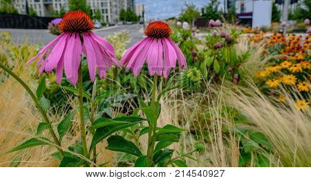 Two beautiful pink coneflowers daisy in a wild flower bed with urban background. Summer shot.