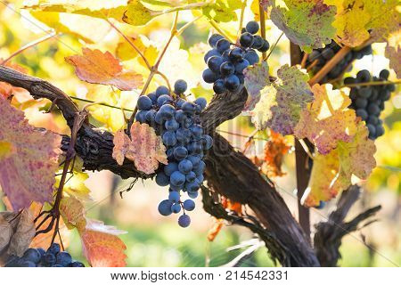 Mature organic red wine grapes in the natural vineyard