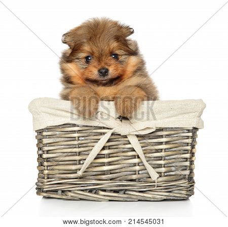 Pomeranian Spitz Puppy In Basket On White