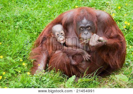 Orangutan With Her Cute Baby