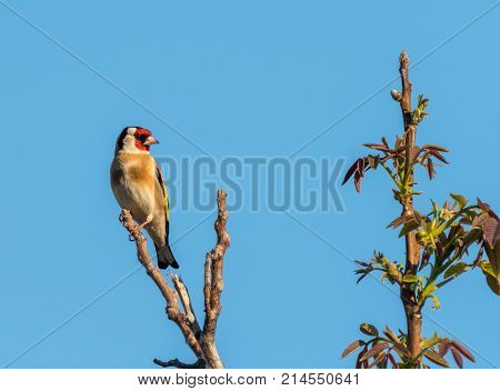 A European Goldfinch Sitting On A Tree In Springtime