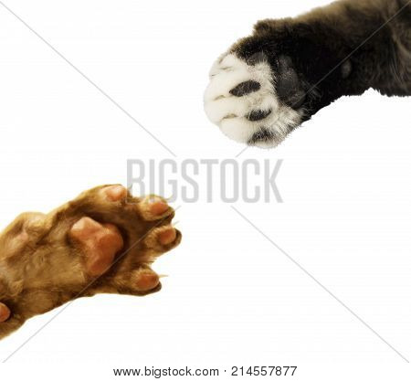 cat's paw isolated on white background. Inner side of cats paw isolated. animals paw colletction. great design for cats food. Oriental Shorthair or Cornish Rex and scottish fold cat and cats paw