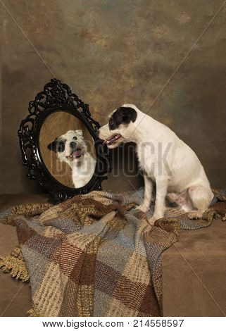 A little white terrier sits looking at his own image in the glass of an ornate mirror.