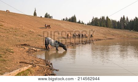 Blue Roan Stallion Drinking With Herd Of Wild Horses At The Water Hole In The Pryor Mountains Wild H