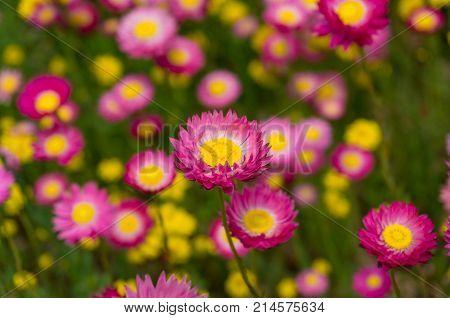 Australian Native Paper Daisy Flower Field