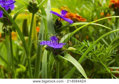 Violet flowers with yellow anthers Tradescantia in summer garden. Small Hoverfly on flower, side view