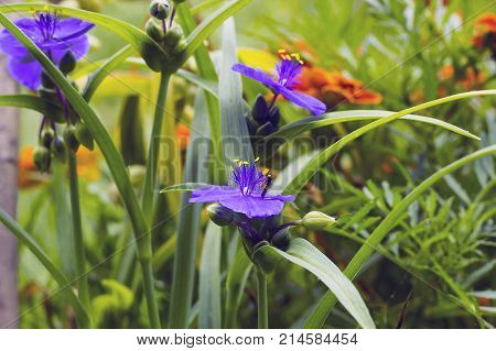 Violet flowers with yellow anthers Tradescantia in summer garden. Small Hoverfly on flower side view