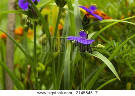 Violet flowers with yellow anthers Tradescantia in summer garden. Small Hoverfly on flower
