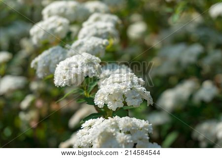 Umbel Like White Flowers Nature Background