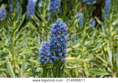 Bees Pollinating Exotic Blue Flowers On Flowerbed In The Garden