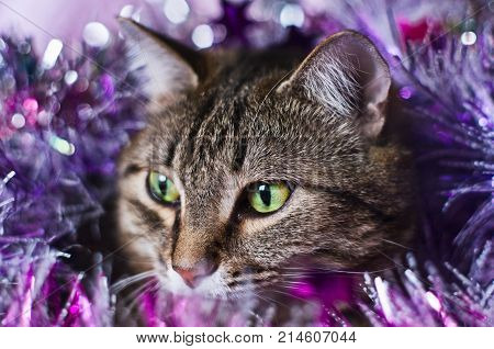 A portrait of a tabby cat in purple tinsels.