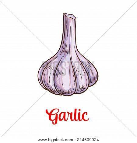 Garlic vegetable isolated sketch of spice and condiment. Garlic bulb with clove, fresh veggies vector icon for healthy food, natural seasoning, salad ingredient design