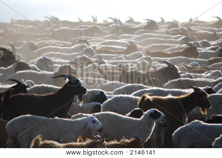 Herd Of Goats At Dawn