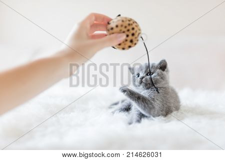 Little cat staring at a toy in woman's hand, trying to poke it with its paw. British shorthair.