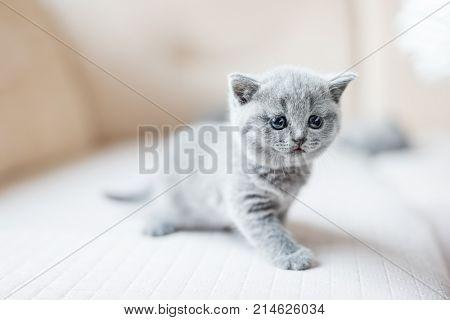 Little grey kitten stepping carefully. Baby cat meeting new world. British shorthair cat.
