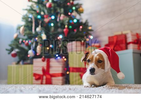 Merry Christmas. Dog Jack Russell Terrier in a house decorated with a Christmas tree and gifts wishes happy Holiday and  Christmas Eve