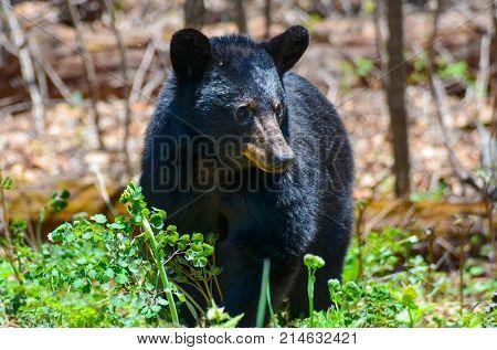 American Black Bear in Shenandoah National Park, Virginia