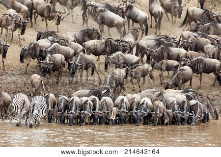 Wildebeest and zebra drinking from the Mara river in the Masai Mara, Kenya, during the annual Great Migration. Every year 1.5 million wildebeest make the arduous trek from Tanzania to Kenya.