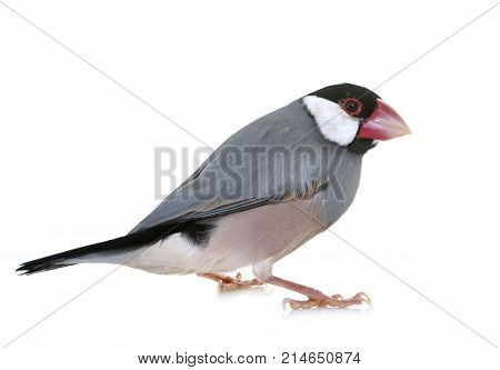 Java sparrow in front of white background