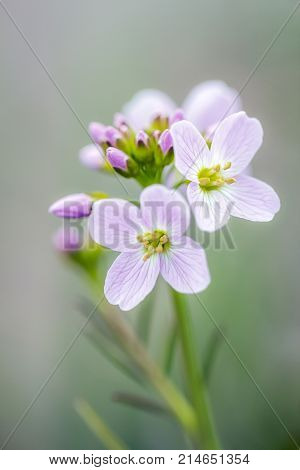 Cardamine pratensis, The lady's smock flowering plant.