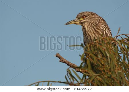 A Black-crowned Night Heron perched high in a tree in southern California. poster