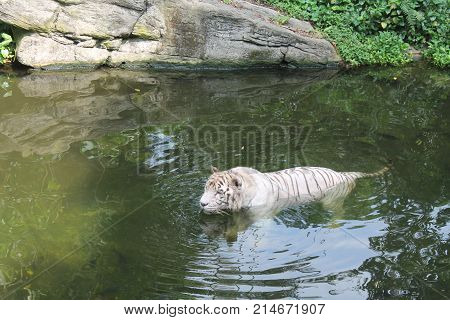 White tiger symbol of success and might