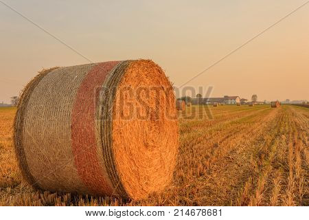 close-up of a hay cylindrical bale in a farmland /expanse of hay cylindrical bales in a farmland