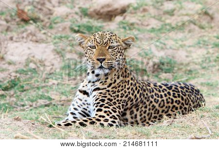 African Leopard (Panthera Pardus) crouching down on the plains