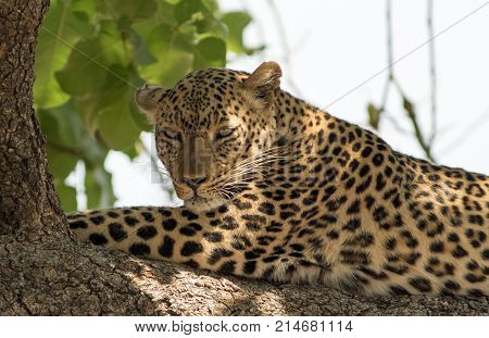 African Leopard (panthera pardus) resting on a large branch