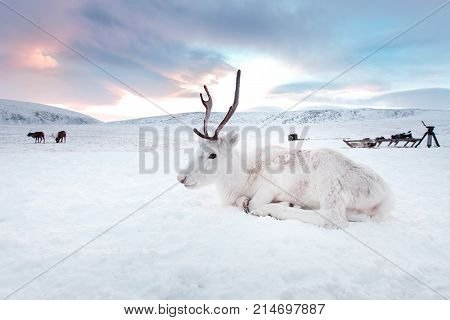 Winter white deer in the desert of Siberia, Russia, Yamal. Resting on the snow at sunrise