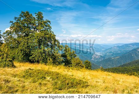 forest on grassy hillside of Carpathians. beautiful summer scenery in mountains