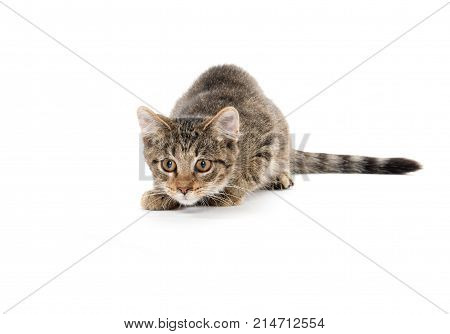 Cute Tabby Kitten Stalking