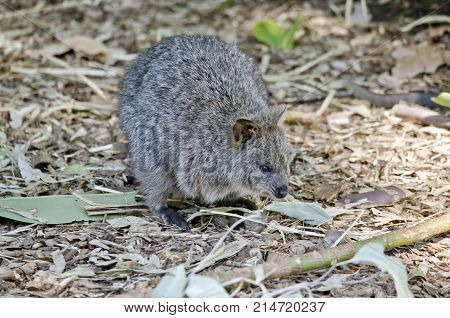 this is a close up of a quokka