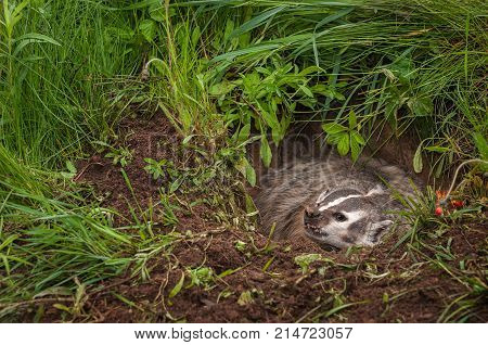 North American Badger (Taxidea taxus) Snarls Left From Burrow - captive animal