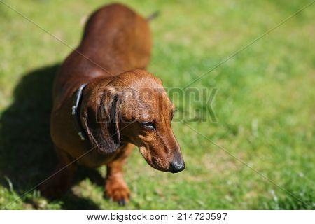 dachshund in garden