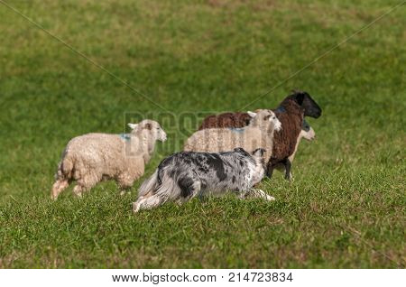 Herding Dog Behind Group of Sheep (Ovis aries) - at sheep dog herding trials