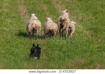 Herding Dog Behind Lined Up Sheep (Ovis aries) - at sheep dog herding trials